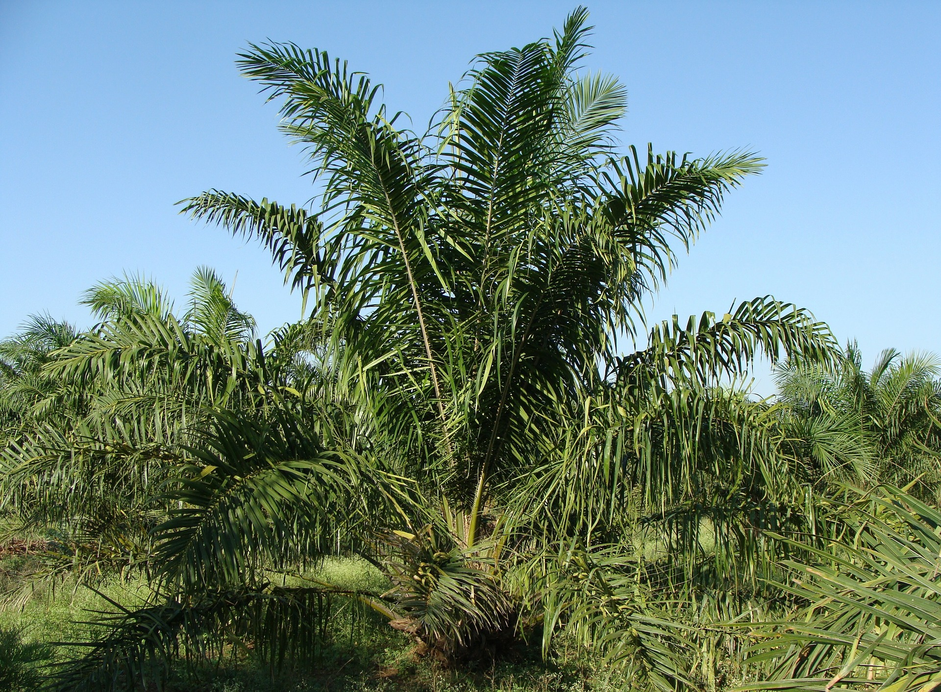 palm-oil-controversy-tree